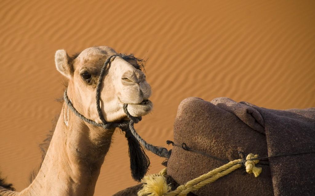 Jazda na ťavách medzi piesočnými dunami Maspalomas